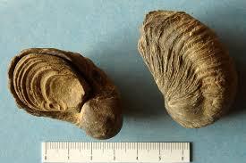 fossiles de gryphées